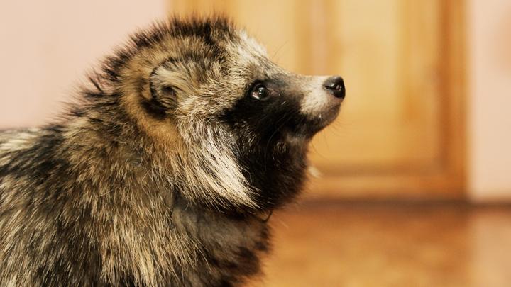 День сурка в Екатеринбурге доверят енотовидной собаке