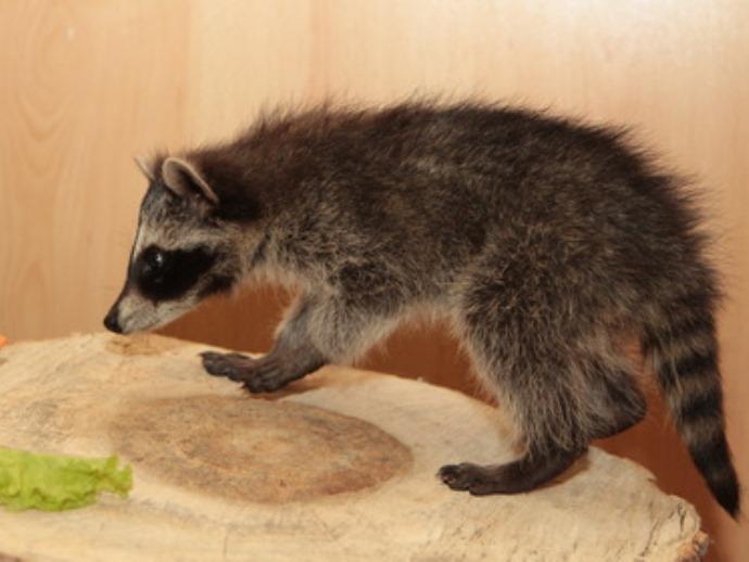 ВЕкатеринбургском зоопарке выбирают имя для малыша-енота